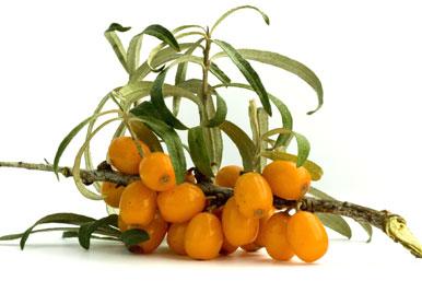 Οι χρήσεις του ιπποφαούς ως φαρμακευτικό φυτό